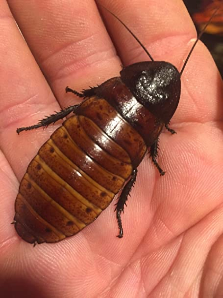Preview of the first image of Giant Madagascan Hissing Cockroaches.