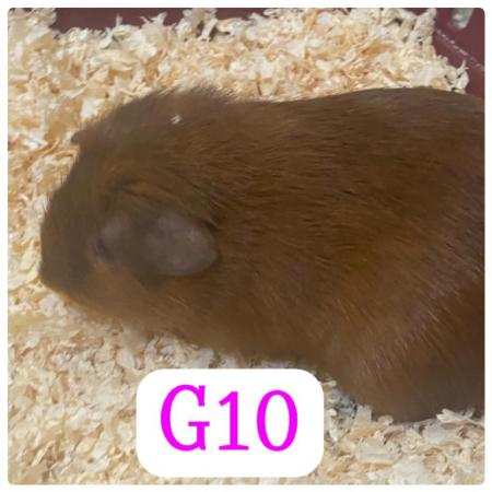 Image 6 of guinea pigs all sexes please see pics
