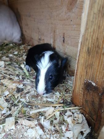 Image 1 of Guinea pigs £25 each
