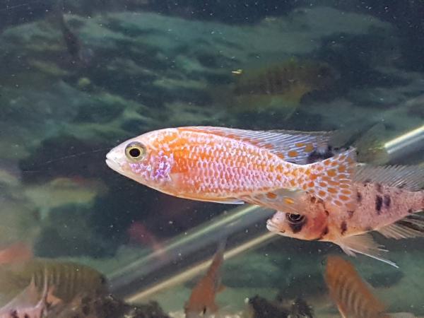 Image 7 of Malawi cichlids approx 6.5cm £8
