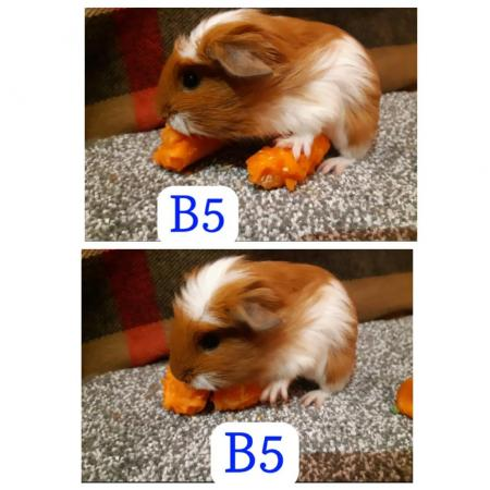 Image 9 of guinea pigs all sexes please see pics