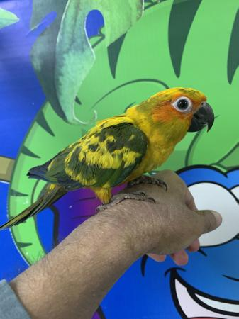 Image 3 of Stunning Hand Reared Baby Sun Conures