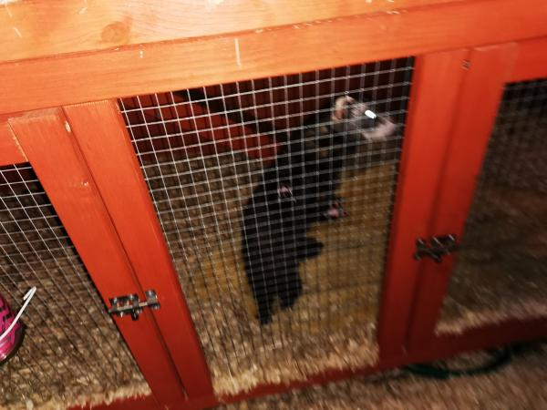 Image 2 of ferrets and cage