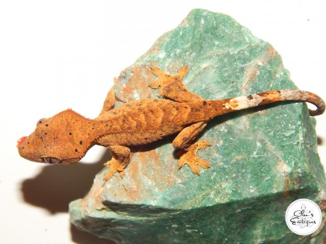 Preview of the first image of Unsexed orange Dalmatian Crested Gecko.