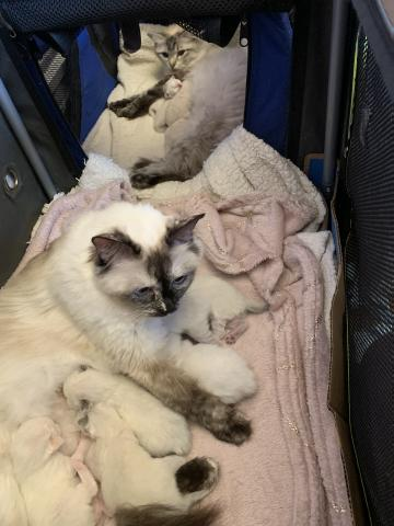 Preview of the first image of Ragdolls adorable babies.