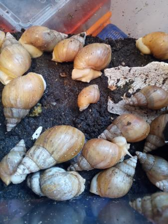 Image 2 of giant african land snails albino