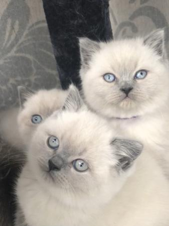 Image 2 of Stunning colourpoint Persian kittens