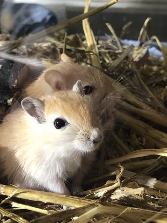 Image 1 of Baby gerbils (males and females)