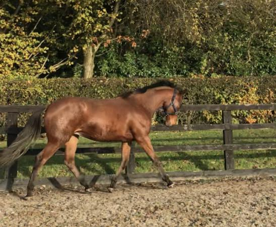 Image 1 of Rising 2yr old Sports Horse *For Sale* updated**