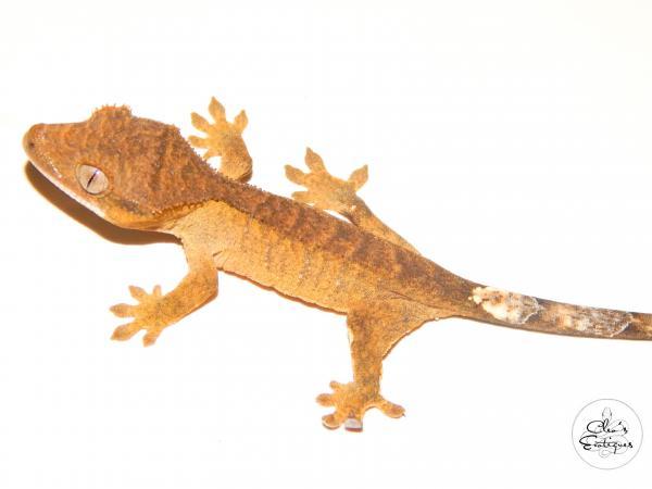Image 4 of Brindle Crested Gecko