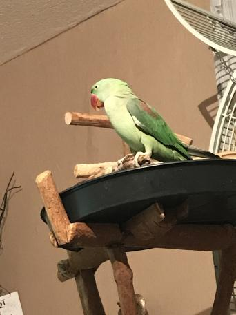 alexandrine - Birds, Rehome Buy and Sell in Birmingham