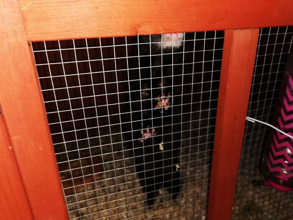 Image 3 of ferrets and cage