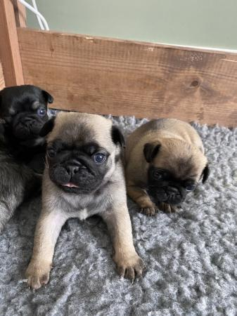 Image 2 of Pug puppies