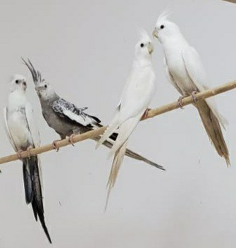 Preview of the first image of white face and white Cockatiels.