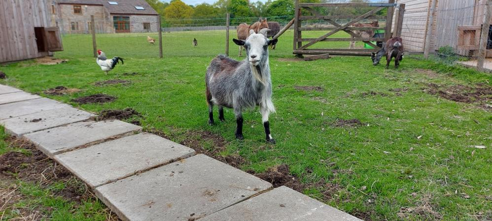 Image 7 of Pygmy Goat Nannie with kid