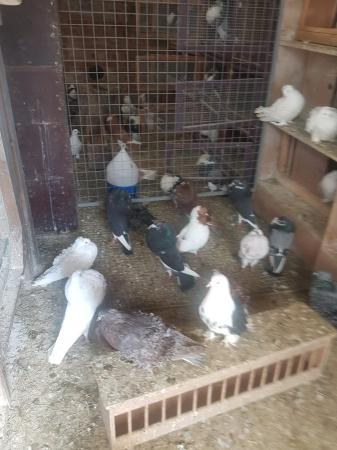 Image 7 of 4 pairs of norwich croppers pigeons