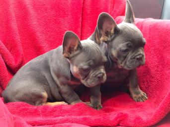 french bulldog x - Dogs and Puppies, Rehome Buy and Sell ...