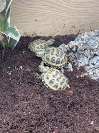 Image 1 of CB20 Horsefield Tortoises