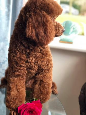 Image 1 of Kennel Club registered Red miniature poodle for stud
