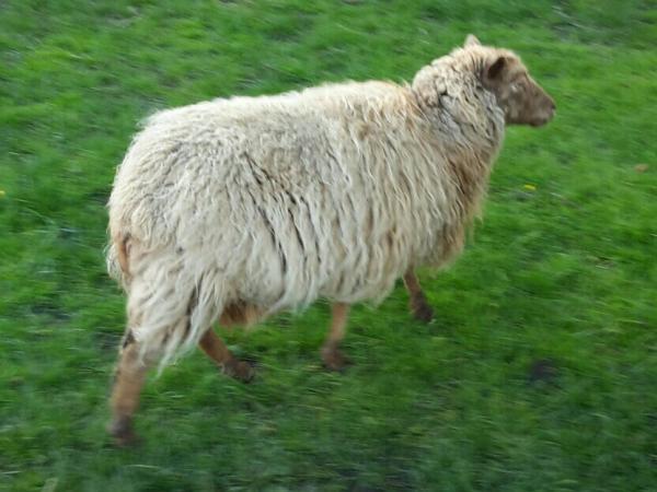 Image 6 of North Ronaldsay Ewes
