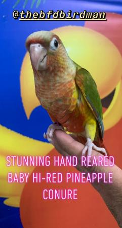Image 1 of Stunning Hand Reared Baby Hi-Red Pineapple Conures.
