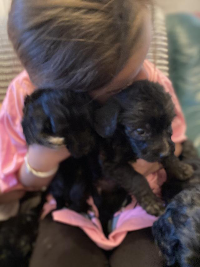 Preview of the first image of F1 Cockerpoo Puppies.
