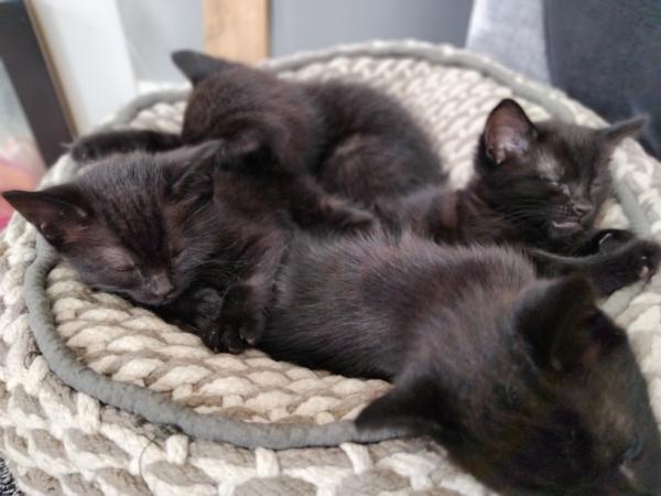 Image 4 of Black kittens