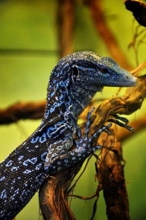 Image 11 of RESCUE/rehab/Rehoming - Monitor lizards
