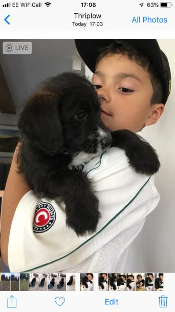 jackapoo puppies - Dogs & Puppies, For Sale | Preloved