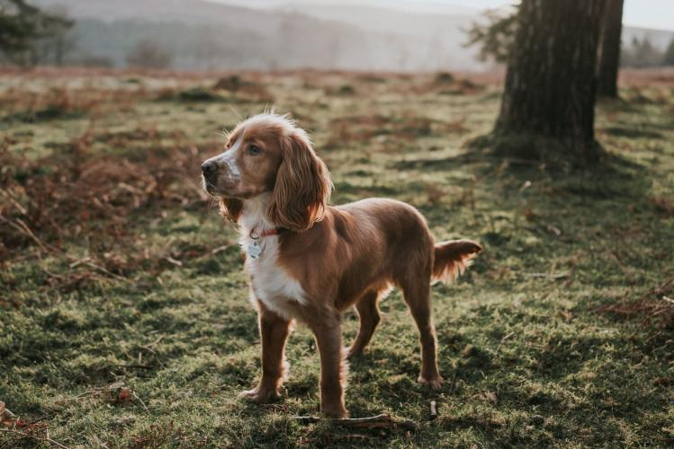Wanted Cocker Spaniel Wanted In Basingstoke Hampshire