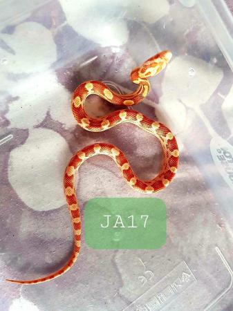 Image 2 of Holiday Sale Corn snakes