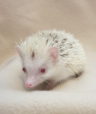 Image 2 of African Pygmy Hedgehog - Stunning Cinnamon Reverse Pinto