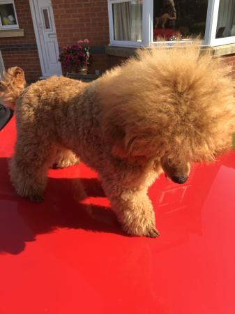 Image 1 of K.C Registered Red Toy poodle for stud