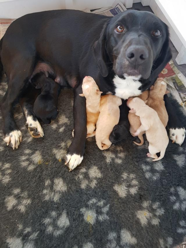 Preview of the first image of Beautiful Springador Puppies.