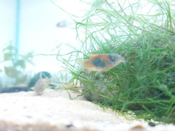 Image 2 of fish shrimp cray fish corydoras all tropical