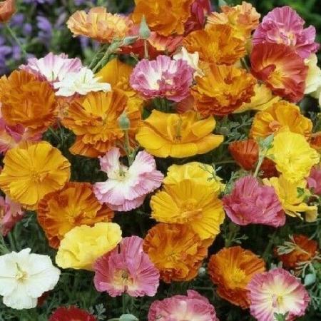 Image 1 of Californian Poppy 'Ballerina Mix' 30 x mixed seeds