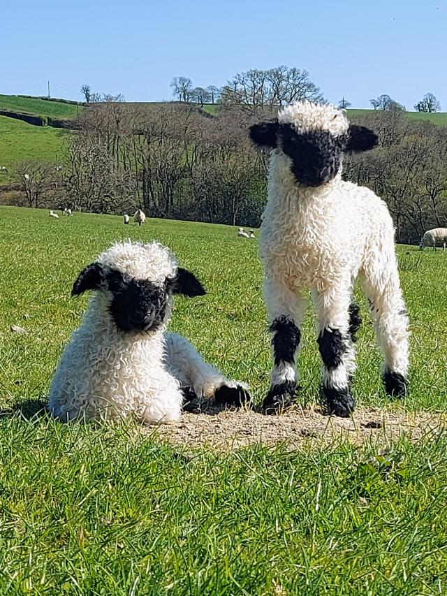 Preview of the first image of Selection of Quality Valais Blacknose Ewe Lambs.