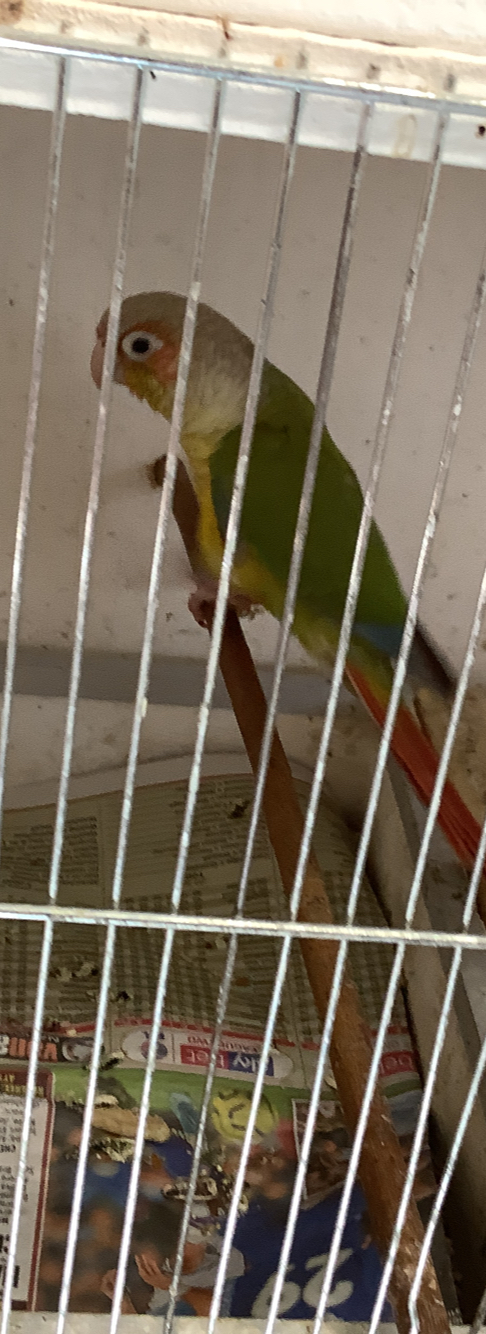 Preview of the first image of Pineapple green cheek Conure WITH DNA.