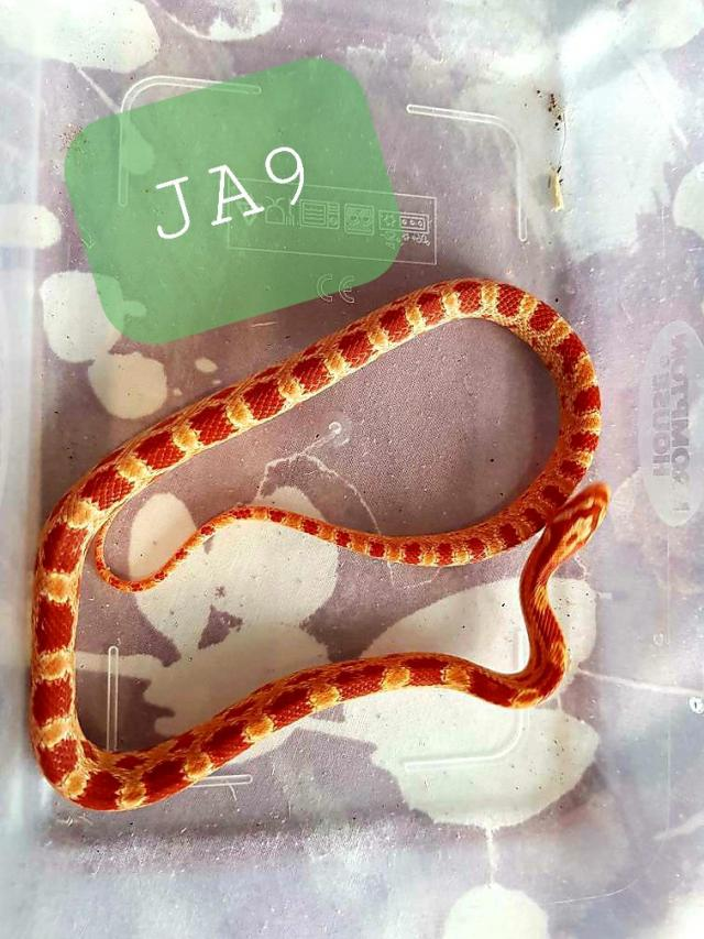 Preview of the first image of Holiday Sale Corn Snakes.