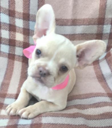 Adorable cream/fawn female French Bulldog puppy