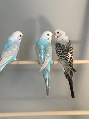 baby budgies - Birds, For Sale in Bolton, Greater Manchester   Preloved