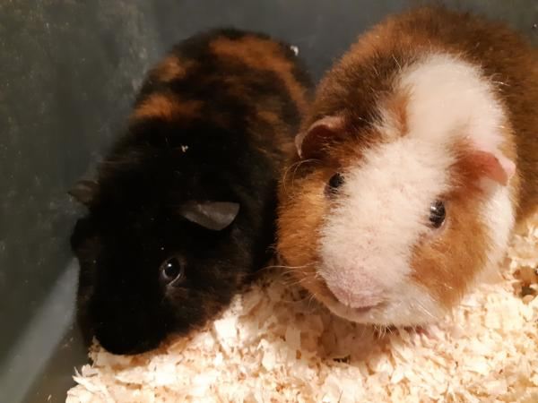 Image 11 of guinea pigs all sexes please see pics