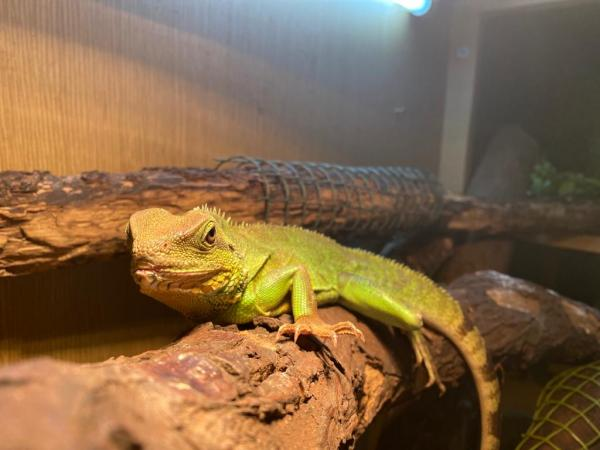 Image 3 of Chinese water dragons