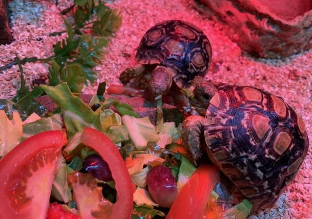 Preview of the first image of Baby leopard tortoises.