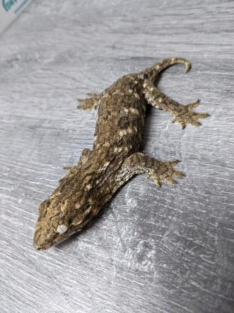 Image 1 of Leachianus Gecko CB20