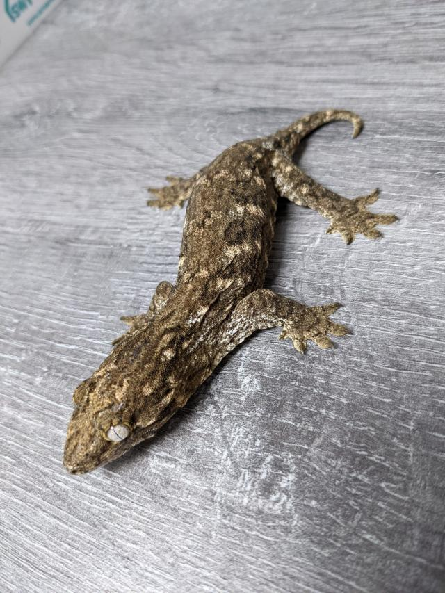 Preview of the first image of Leachianus Gecko CB20.