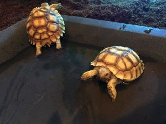 sulcata tortoise - Reptiles, Rehome Buy and Sell   Preloved