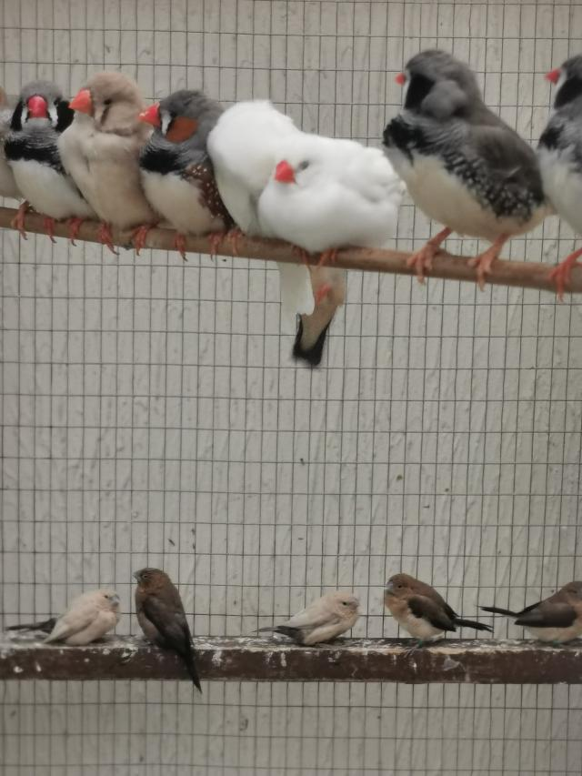 Preview of the first image of Zebra finches available males and females.