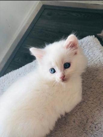 0f029dbee9812f female white long haired kitten
