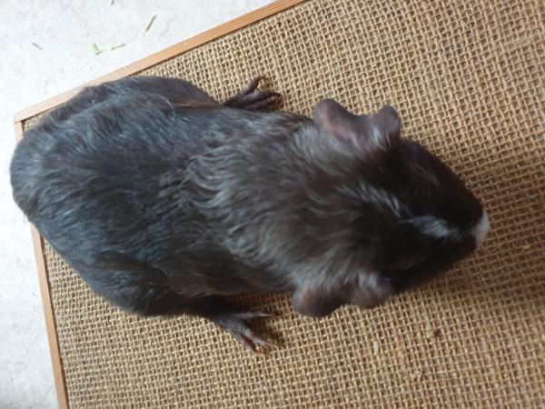 Image 1 of guinea Pigs